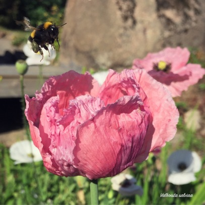 Papaver somniferum 'Pepperbox'