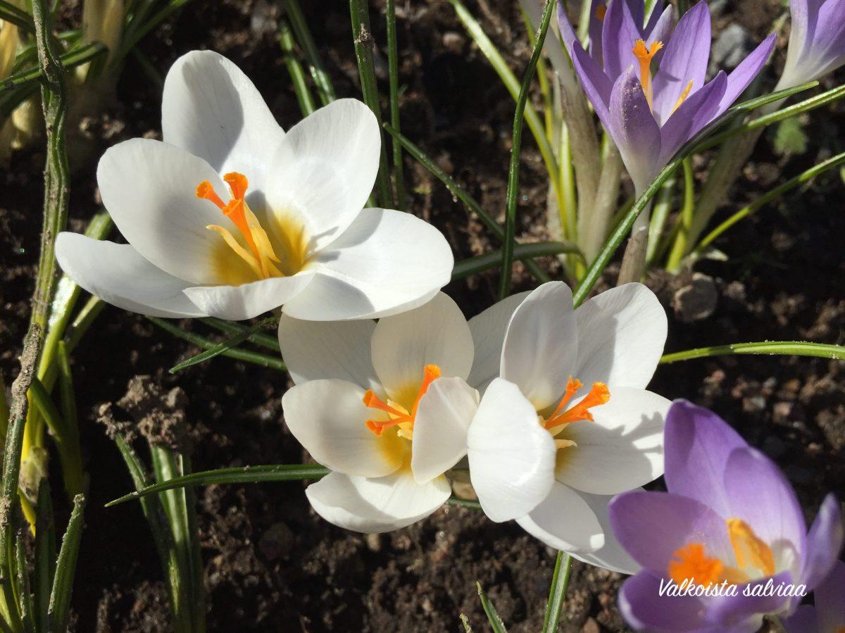 Pääsiäisen kukkatervehdys